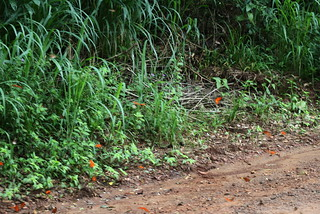 a cloud of orange butterflies | by Welcome to the lizopedia