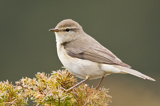 Willow Warbler ~ Explore | by IPM.UK