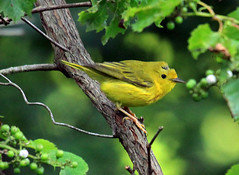 Molting Yellow Warbler | by Laura Erickson