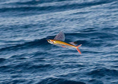 flying fish by cacodaemonia - photo #14