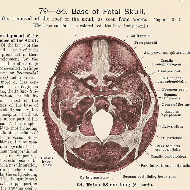 Base Of Fetal Skull Occipital Squama And Occipital Bone O Flickr