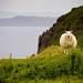 Scotland - Sheep (Isle of Skye)