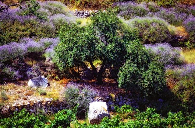 tree among lavender roberto pagani flickr
