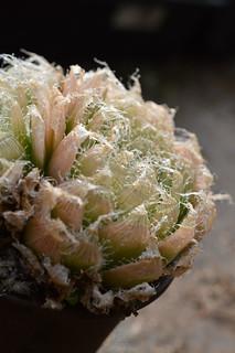 DSC_5435 Haworthia bolusii var. semivava  ハオルチア ボルシー セミヒバ