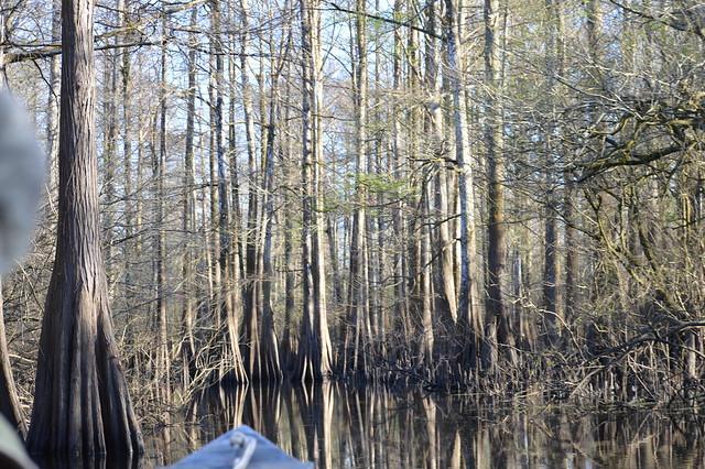 Cypress grove of Bayou Des Glaises