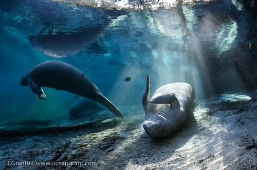 Manatee_In_Light_20 | by oceangrant