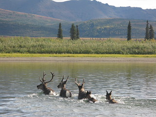 Caribou crossing the Kobuk river north of Kiana | by wendi.lyn1