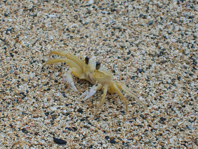 Sand Crab | A small sand crab I found scurrying around the ...