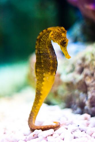 Cavalluccio marino giallo antonio c flickr for Foto cavalluccio marino