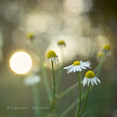 marguerite | by meandmypictures