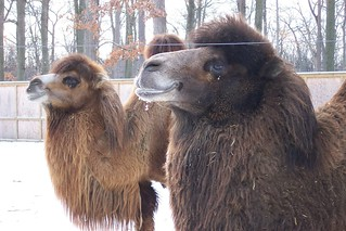 Bactrian Camels - Mackenzie and Newton | by Potter Park Zoo