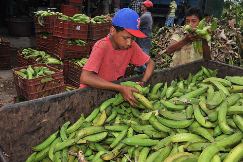 processing plantains a young boy works in a plantain and
