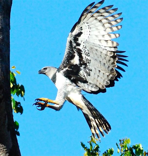 Harpy Eagle (Harpia Harpyja) In Flight