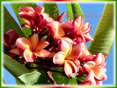 Gorgeous Plumeria with multi-coloured flowers, 11 Feb 2017
