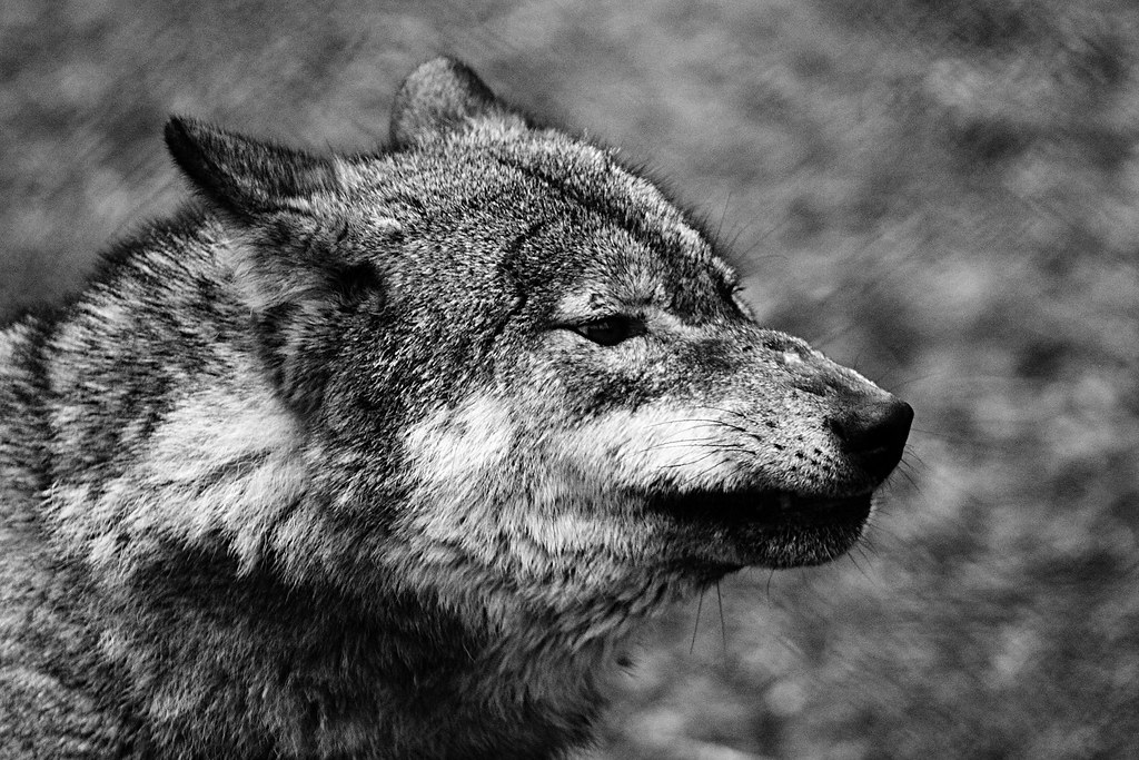 Black Wolf Angry