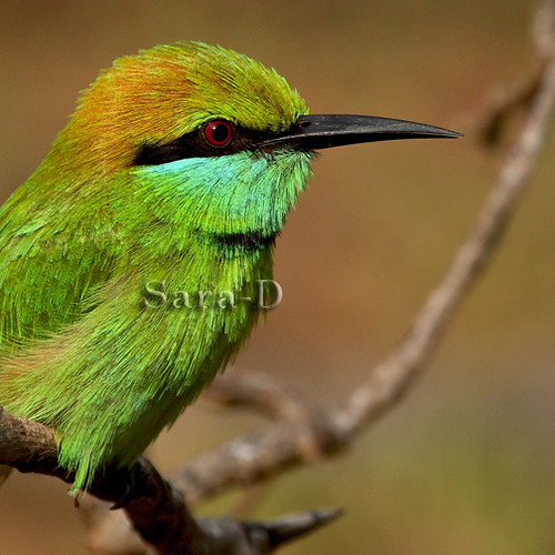 Little Green Bee-eater | by Sara-D