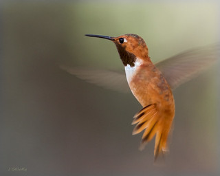 Rufous Hummingbird | by Joan Gellatly