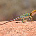 Collared Lizard Scanning for Prey