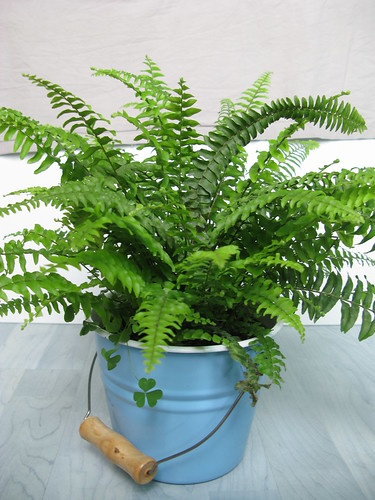 Boston Fern | by bfishadow
