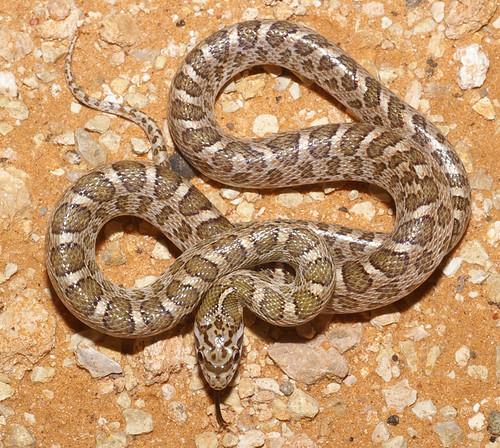Kansas Glossy Snake Texas Kansas Glossy Snake Arizona