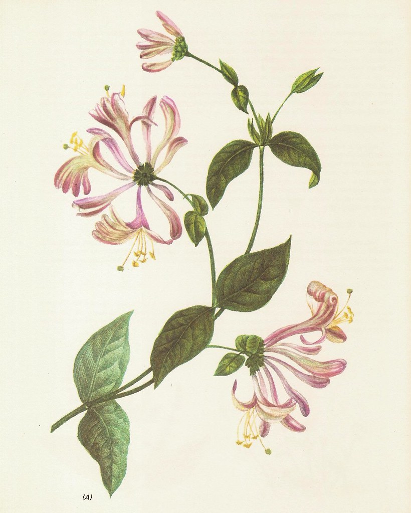 Honeysuckle Flower Line Drawing : Honeysuckle lonicera caprifolium flowering plant herbs an
