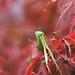 Praying Mantis in a Red Bush