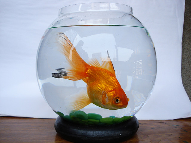 Dsc04926 Goldfish Water Fish Fishbowl Animal Themes
