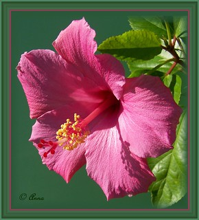 Hibiscus © | by Lionhearted_