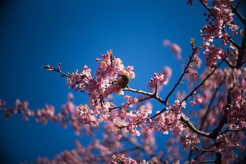 河津桜と目白