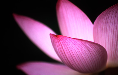 Lotus | by g o r t (crazily busy)