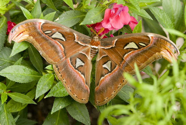Butterfly at brookside gardens flickr photo sharing - Atlas Moth Attacus Atlas Brookside Gardens 072 This