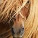 Icelandic Horse (Árbakki herd3)