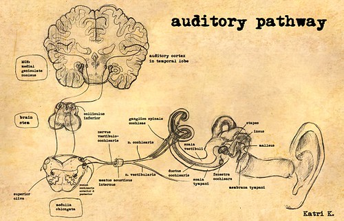 auditory_pathway_by_harrietkaarre