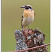 110520 Whinchat-041