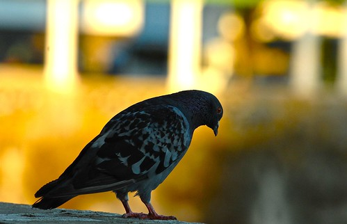 Pigeon | by pedrosimoes7