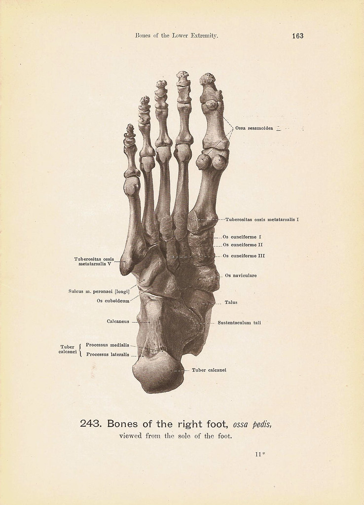 BONES of the Right Foot Viewed From the Sole and With Musc… | Flickr