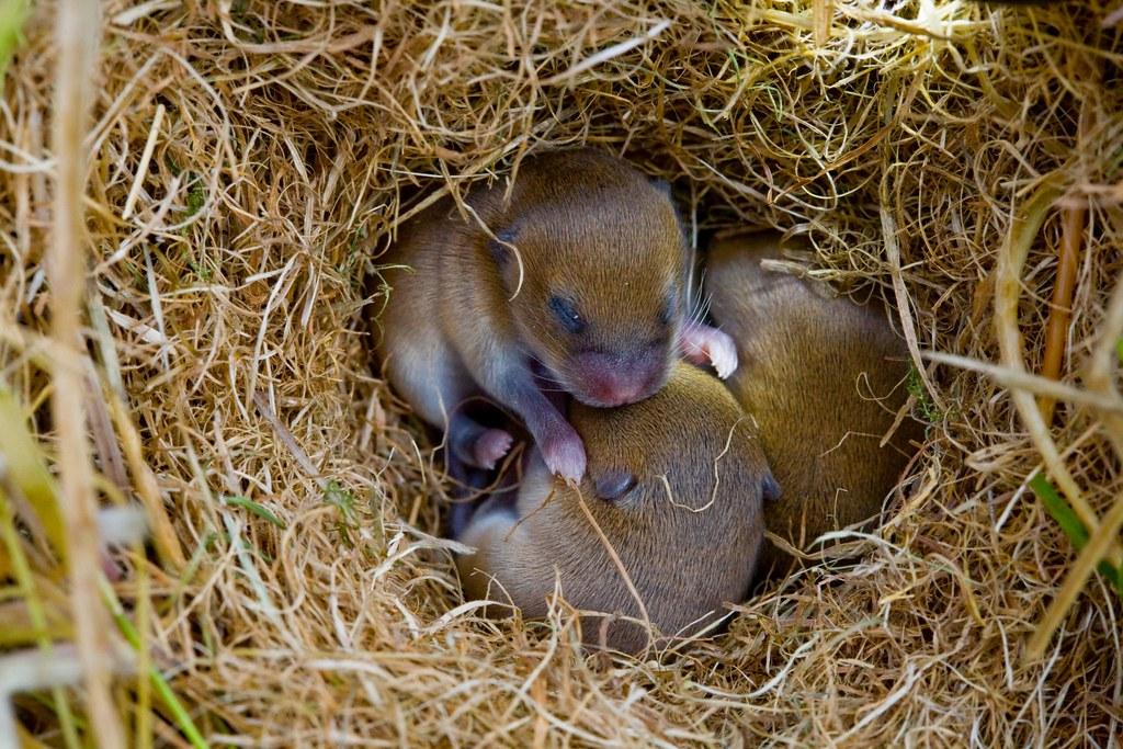 Baby Field Baby Field Mice in Nest
