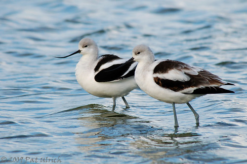 Lovely avocets | by Pat Ulrich