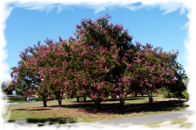 Flowering Bauhinia Tree Location Australian East North