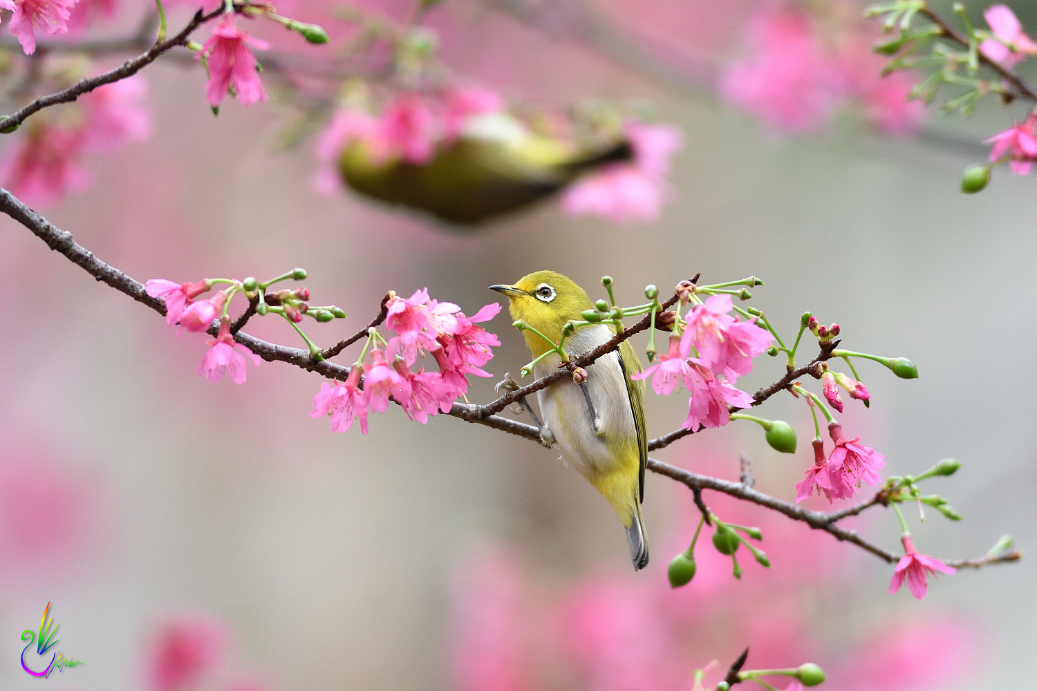 Sakura_White-eye_6291