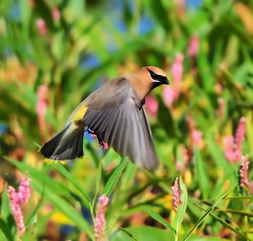 Cedar Waxwing Over Water! | by JRIDLEY1