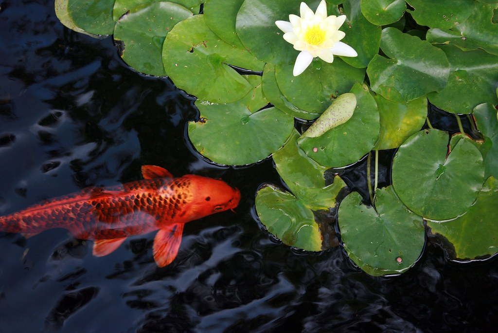 Koi fish pond a koi fish pond at the self realization for Koi carp fish pond