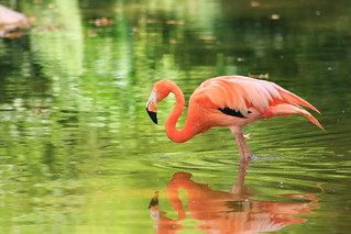 Flamingo on Green | by nutterguy