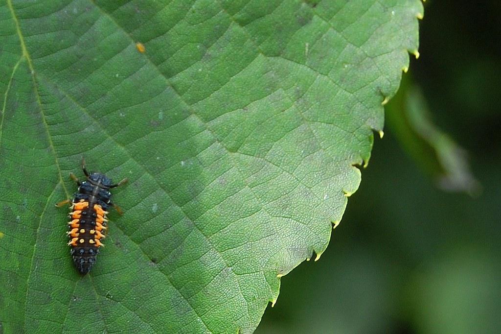 black and orange bug on leaf 2009 photowalk newport vt 07 flickr. Black Bedroom Furniture Sets. Home Design Ideas