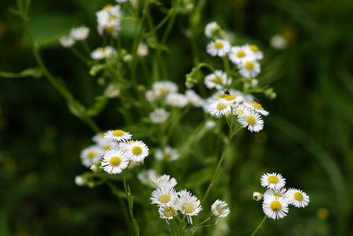 Fleabane | by Glass Wheels