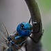 Blue Dragonfly 1