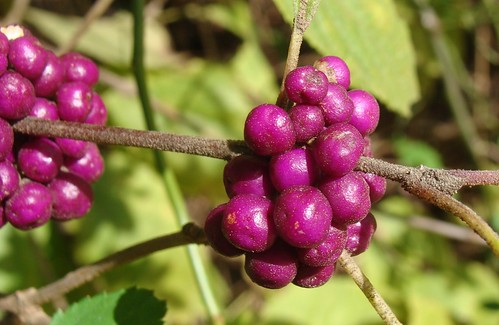Purple Berries Beautyberry Bush Unretouched This Plant