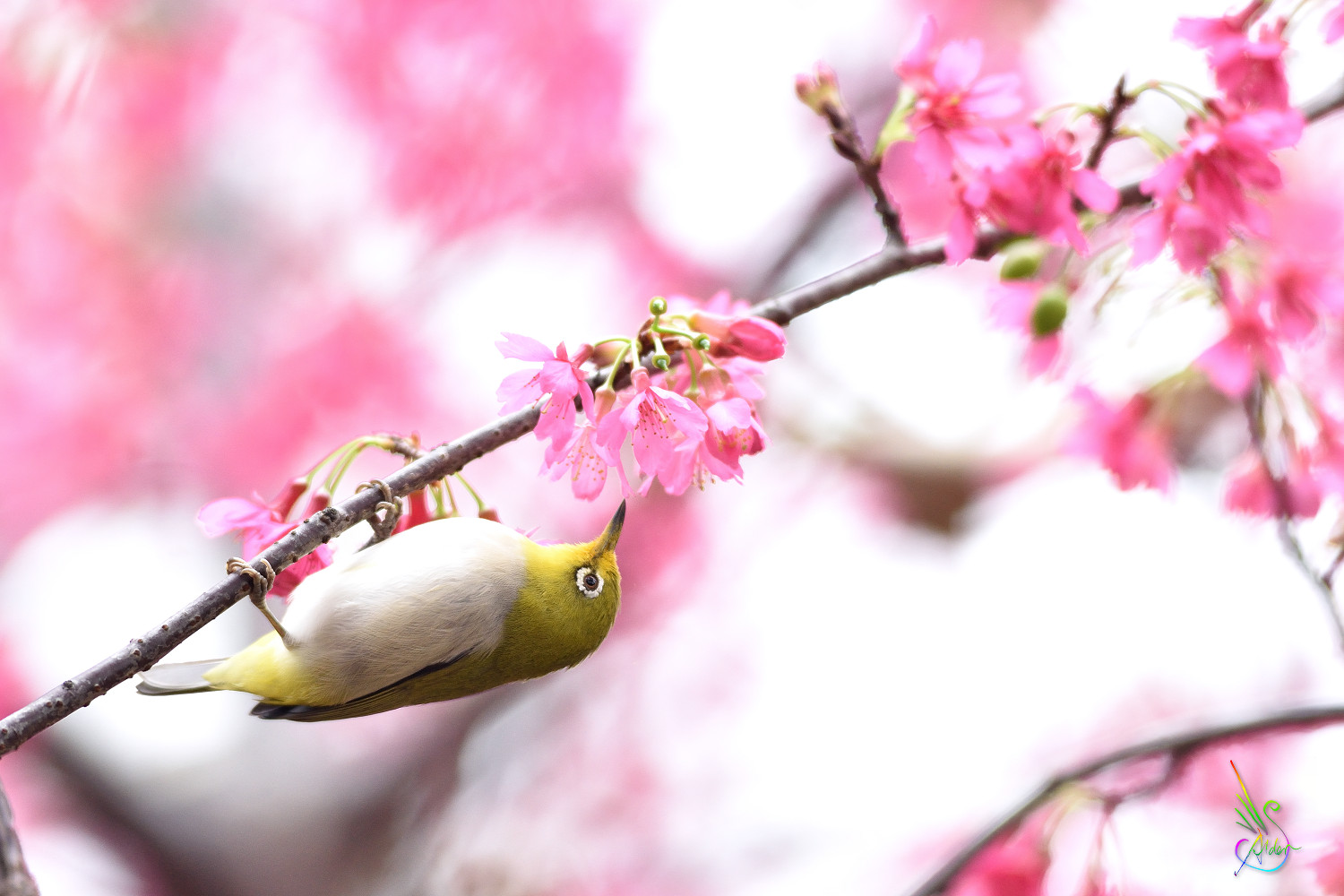 Sakura_White-eye_5335