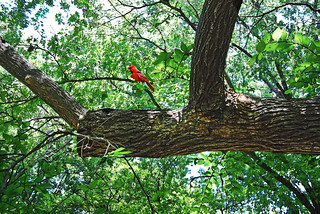 The Cardinal of the Forest | by Texas Finn