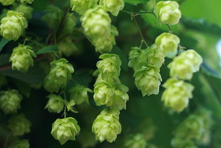 Hops | by Paul Miller